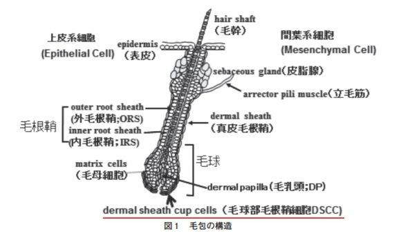 毛球部毛根鞘細胞(もうきゅうぶもうこんしょうさいぼう)